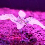 Cannabisplant onder ledbelichting
