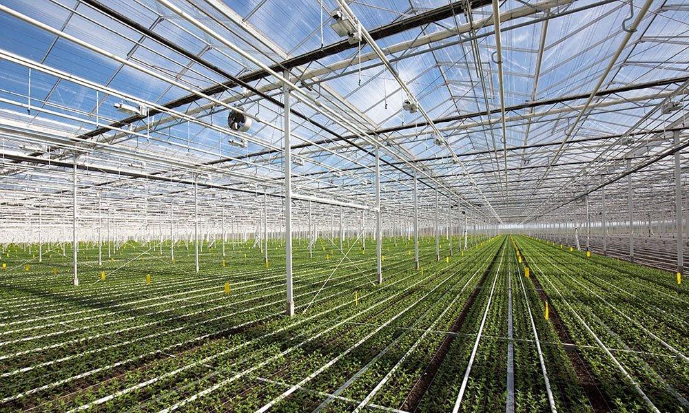 Diamond Flowers, de grootste chrysantenkwekerij van Nederland