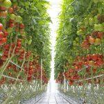 De Bakker Westland in Kwintsheul (Nederland) en Tomato Masters in Deinze (België) openen centra voor trostomaten om Nunhems producten aan het publiek te laten zien