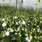 Onderzoekers hebben bestudeerd of de koelfase bij phalaenopsis deels kan worden vervangen door meer energievragende maatregelen.