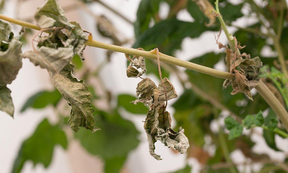 Het probleem van de tomatengalmijt bouwt zich al een aantal jaar op. Het insect zelf is niet met het blote oog zichtbaar, maar de schade kan desastreus zijn