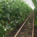 Meer mogelijkheden voor gewasbeschermingsmiddelen in de biologische teelten.