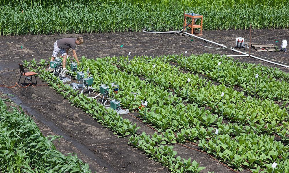 Het mechanisme waarmee planten zich beschermen tegen een te hoog lichtniveau gaat ten koste van de productie.