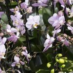 Phalaenopsis orchidee in kas Ter Laak Orchids