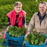 Al vijftig jaar zit het echtpaar Zoutewelle in het tuindersvak. De laatste tien jaar telen zij de kleine gewassen peterselie en kroten in hun kas van 6.000 m2.