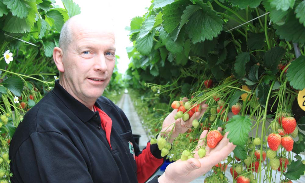Het wegnemen van jonge bladeren in de donkere maanden kan de productiviteit van aardbeienplanten stimuleren