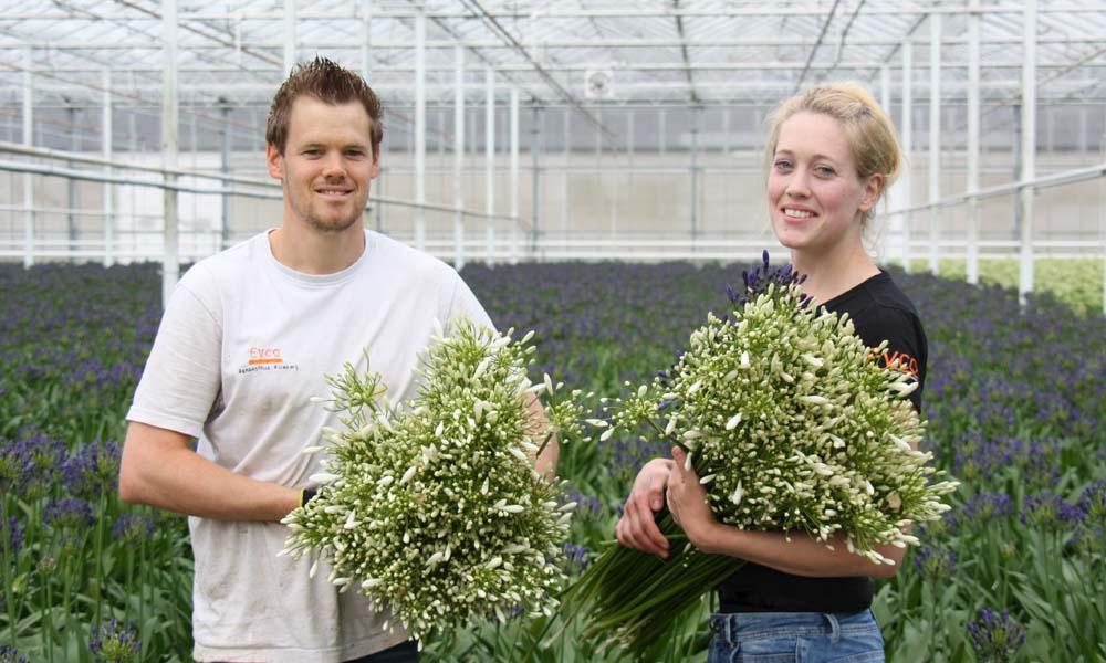 Eijco Flowers teelt exclusieve agapanthus voor het hogere segment