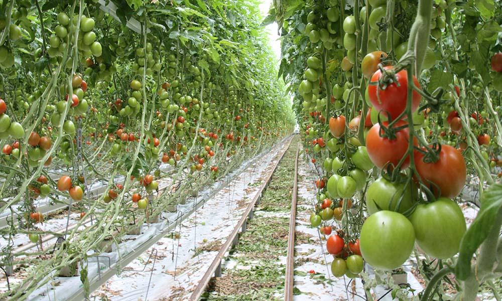 Tomaten in de kas