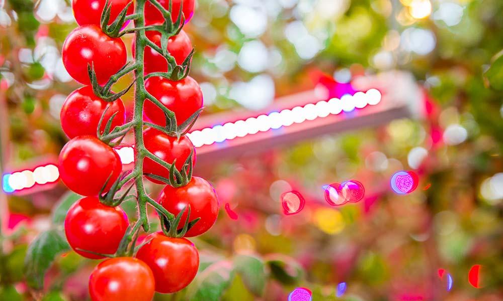 Tomaten in de kas onder een led-verlichtingsinstallatie
