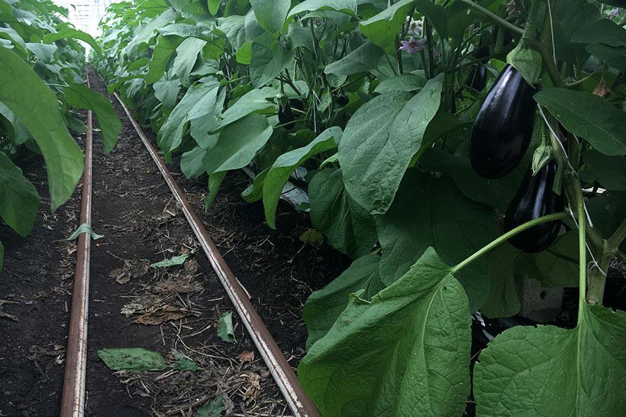 Biologische teelt van aubergine in kas