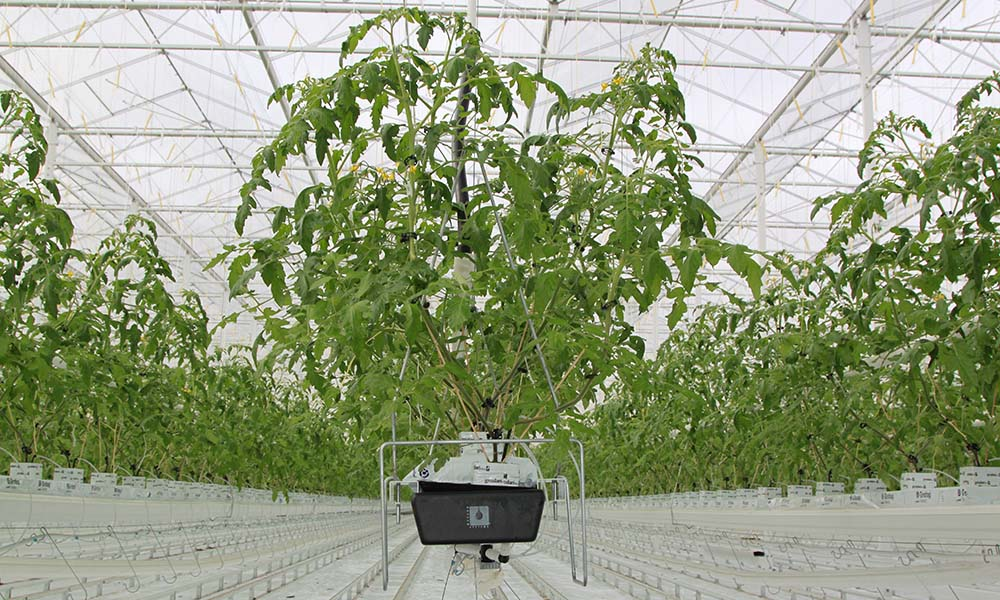 Tomatenplanten in de kas
