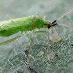 De roofwants Macrolophus pygmaeus