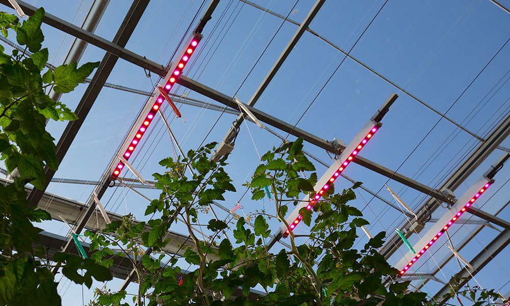 LED-proef cherrytomaat Delphy Improvement Centre