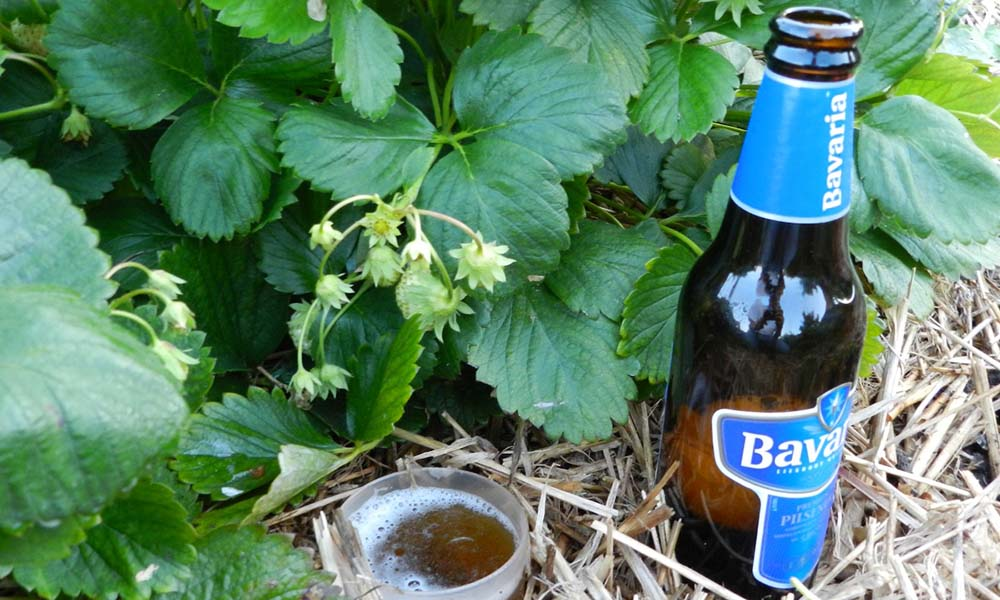 Bier tegen slakken in aardbeienteelt