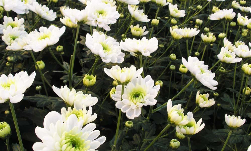 Balans tussen twee eiwitten bepaalt of een plant bloeit