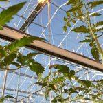 Tomaten die werden bijbelicht met extra verrood licht produceerden in een praktijkproef bij Prominent 11% meer.