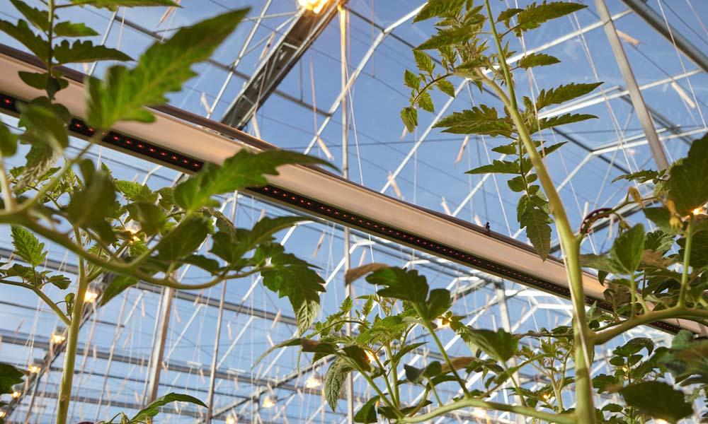Praktijkproef toont hogere productie tomaten door extra verrood licht