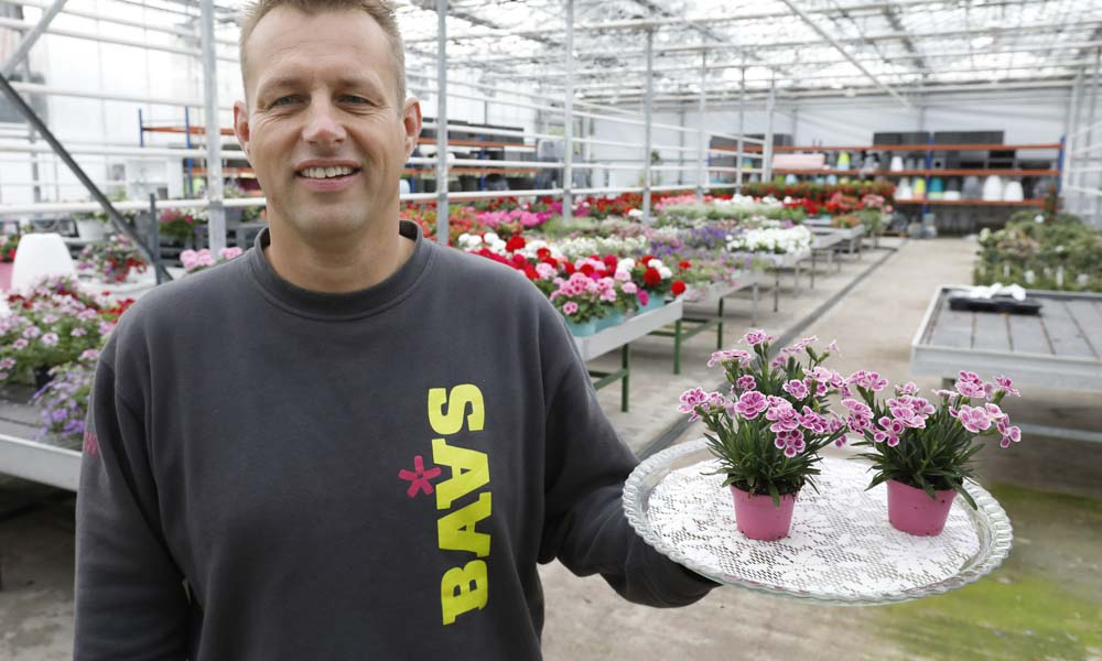 """In slechts twee jaar tijd is de Dianthus caryophyllus Pink Kisses uitgegroeid tot een enorm succes. """"De verkoopt loopt als een tierelier"""", vertelt Jarno."""