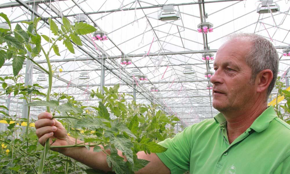 Bij tomatenkwekerij Gebroeders Koot heeft een proef met hybridebelichting (SON-T + LED) mooie resultaten opgeleverd.