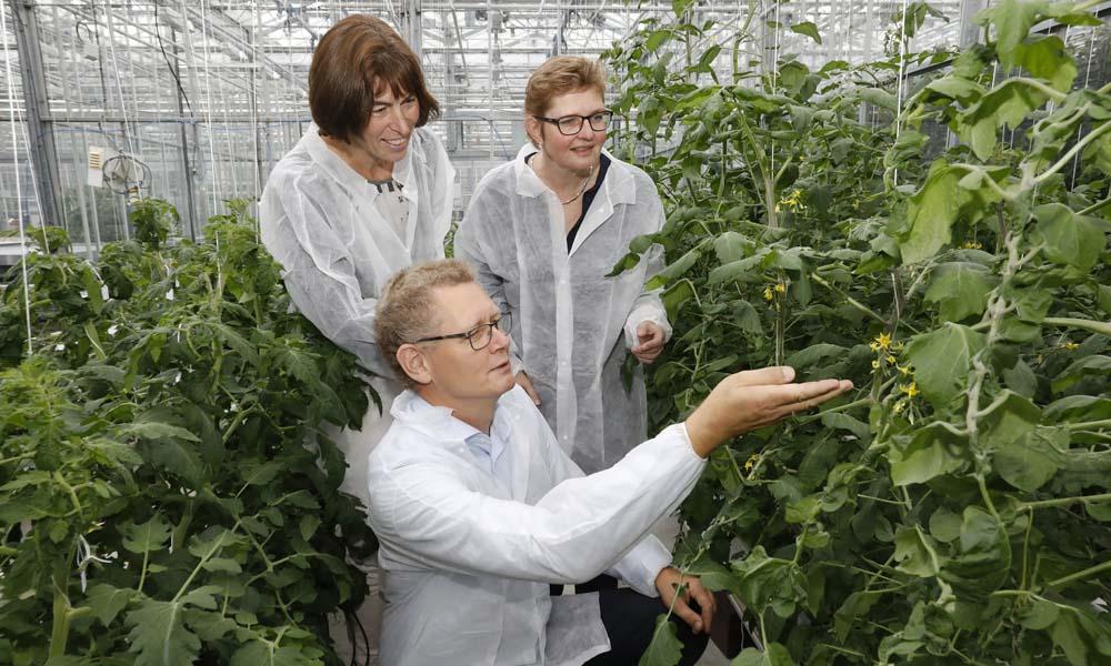 Een belichte tomatenteelt kan energiezuiniger worden door te kiezen voor LED's in plaats van SON-T. Naar het ideale lichtrecept is onderzoek gedaan.