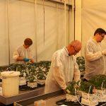 Daarin onderzoeken we in hoeverre ze de tomatenplanten op scherp kunnen zetten om sterker te reageren op een aanval van een ziekte of plaag.