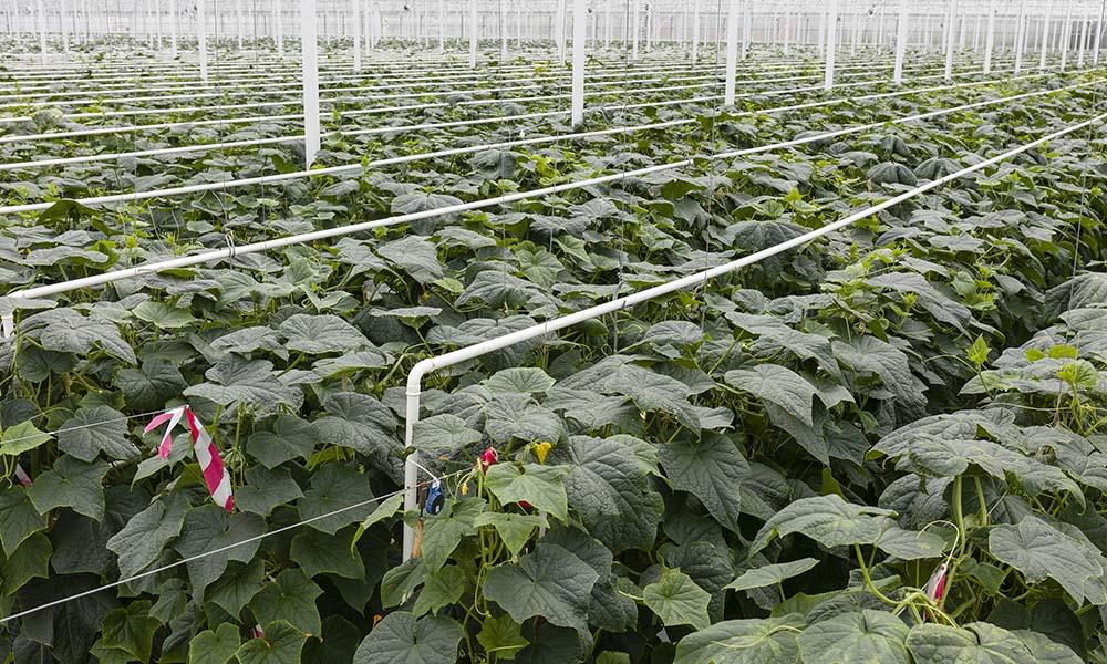 Komend jaar 30 ha meer belichte komkommers