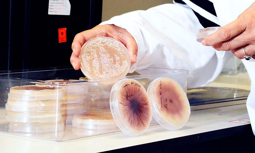 Laboratoriumonderzoek naar de schimmel Fusarium