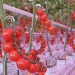 Sinds oktober 2016 vindt onderzoek plaats aan LED-belichting in combinatie met verrood licht in tomaat. De proef valt onder het Europese Carbon-LED project