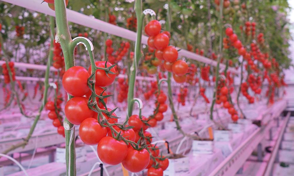 Zichtbaar effect verrood licht op gewasopbouw tomaat