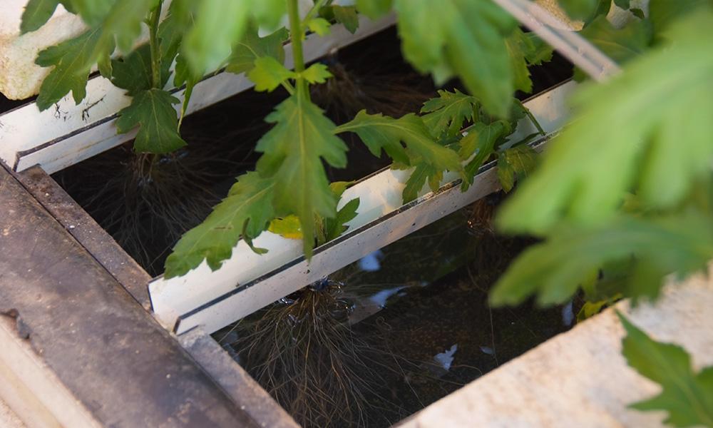 Het onderzoek naar de teelt van chrysant op water resulteerde in een onbevredigend einde. Gelukkig maakt het project een moedige doorstart.