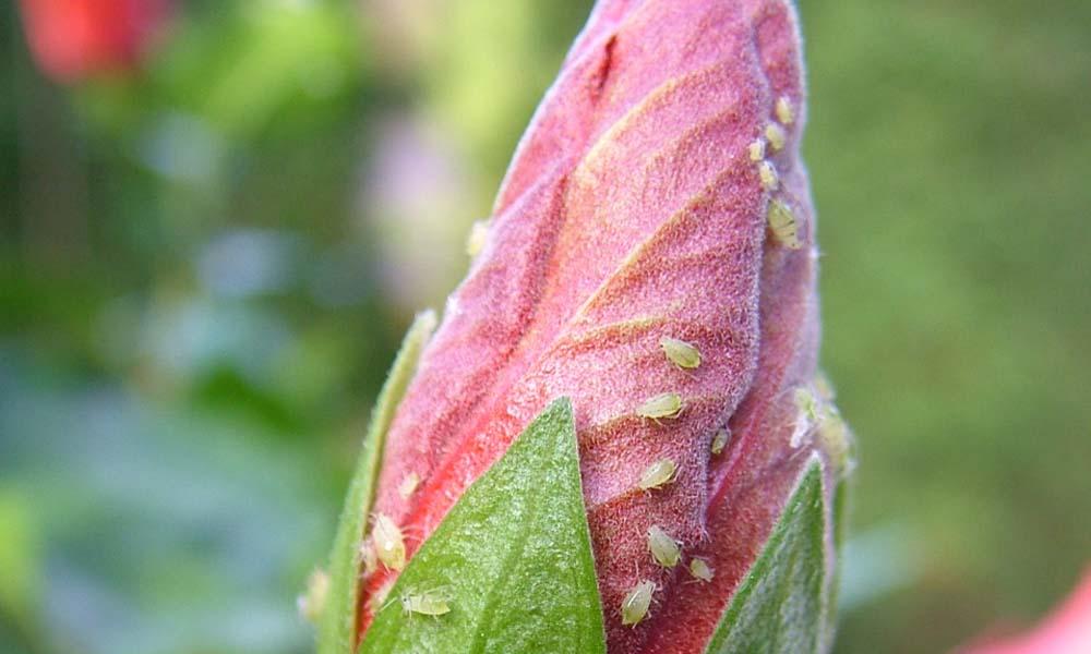 De bestrijding van plantzuigende insecten in de glastuinbouw leunt nog sterk op inzet van insecticiden die behoren tot de neonicotinoïden.