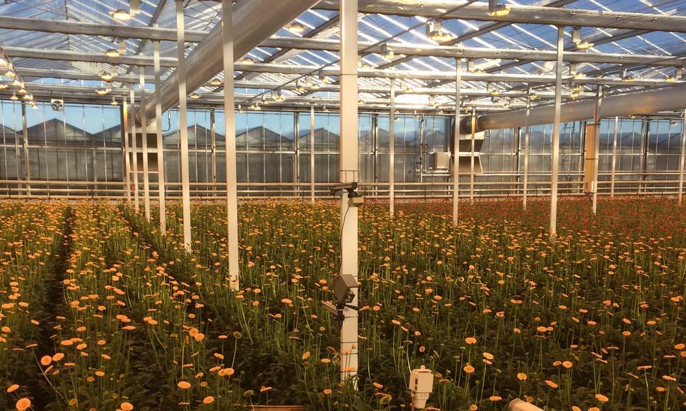 Blad- en bloemtemperatuurmeting gerbera met dubbele schermen