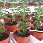 Een alternatief is het sturen op een weerbare bodem. Samen met telers van chrysant en biologische vruchtgroenten is een bodemweerbaarheidsmodel ontwikkeld.
