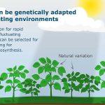 Genetische variatie fotosynthese