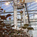 Deskstudie 'Het Nieuwe Belichten' met warmteterugwinning. Rozen telen zonder fossiele energie is economisch haalbaar