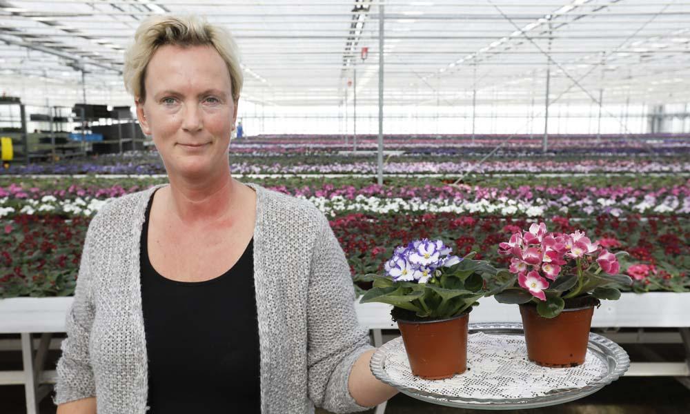 Vrijwel heel Europa is er dol op, maar in Nederland wordt de saintpaulia, oftewel Kaaps viooltje, weggezet als 'oude wijvenplant'.