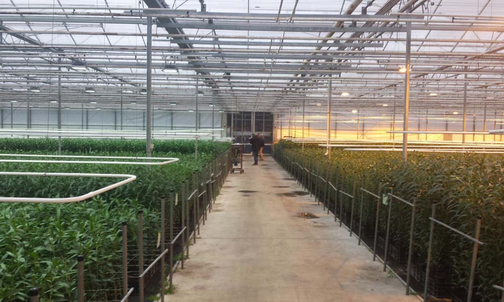 JHL Plants uit Pijnacker en Artemis Lilies in Almere willen met een combinatie van licht en ionisatie betere groei realiseren en de ziektedruk terugbrengen.