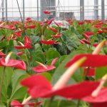 Teeltadvies snijanthurium: voorjaarsklimaat Niet te veel licht op het gewas en bladtemperatuur niet te hoog