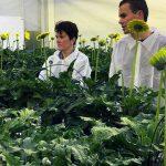 Wageningen Universiteit onderzoekt in gerbera de neveneffecten van reinigingsproducten op de kwaliteit van gietwater en op ziekteverwekkers.