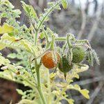 Een wilde tomaat van de Galapagos eilanden blijkt een brede resistentie tegen verschillende soorten insecten te kennen.