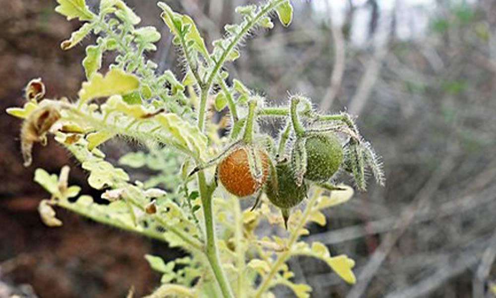 Galapagos tomaat bron van resistentie tegen insecten
