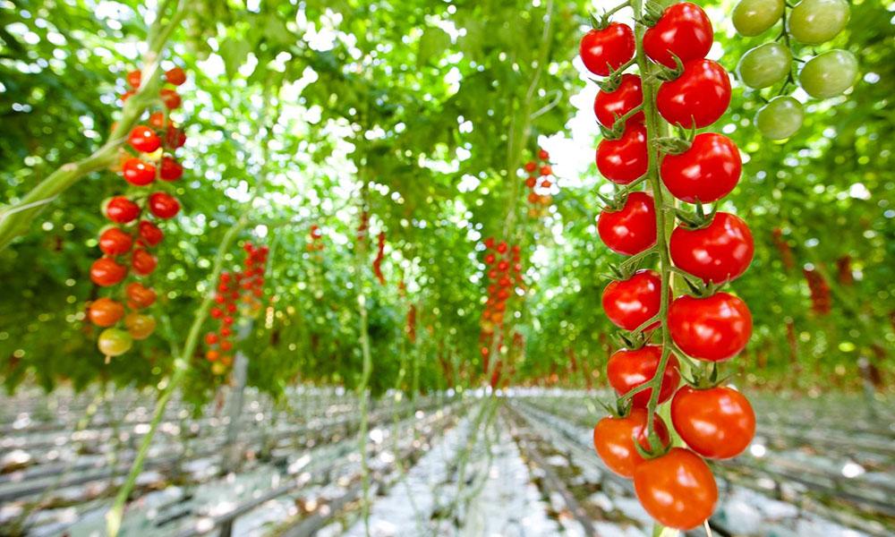 Tomatenkas Stoffels