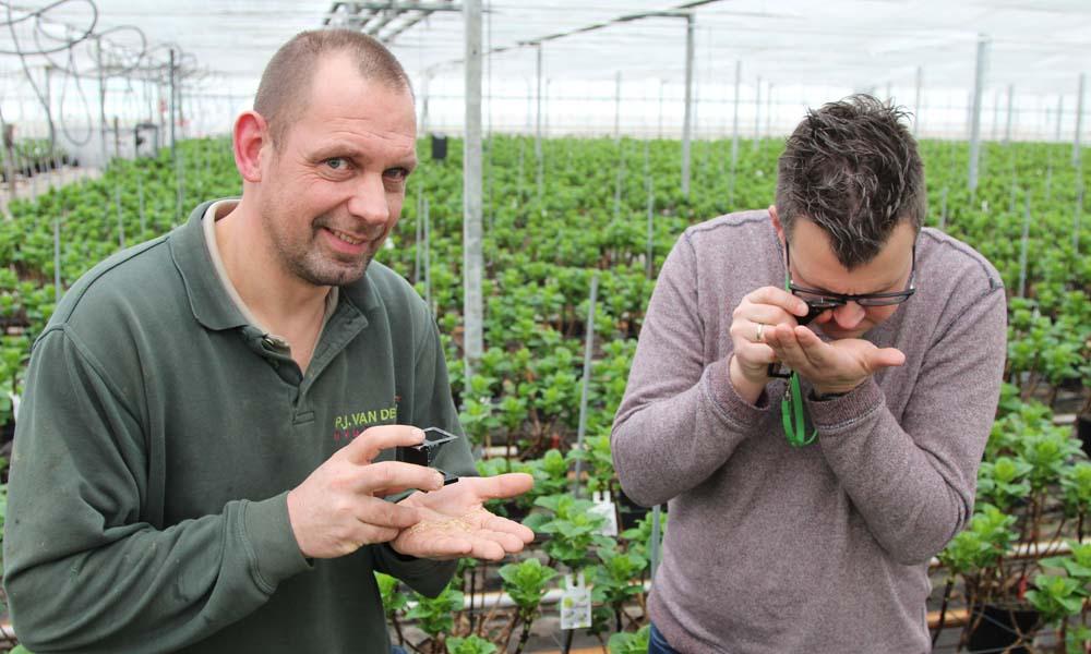 Hortensiateelt krijgt met geïntegreerde aanpak geleidelijk grip op nieuwe plaag