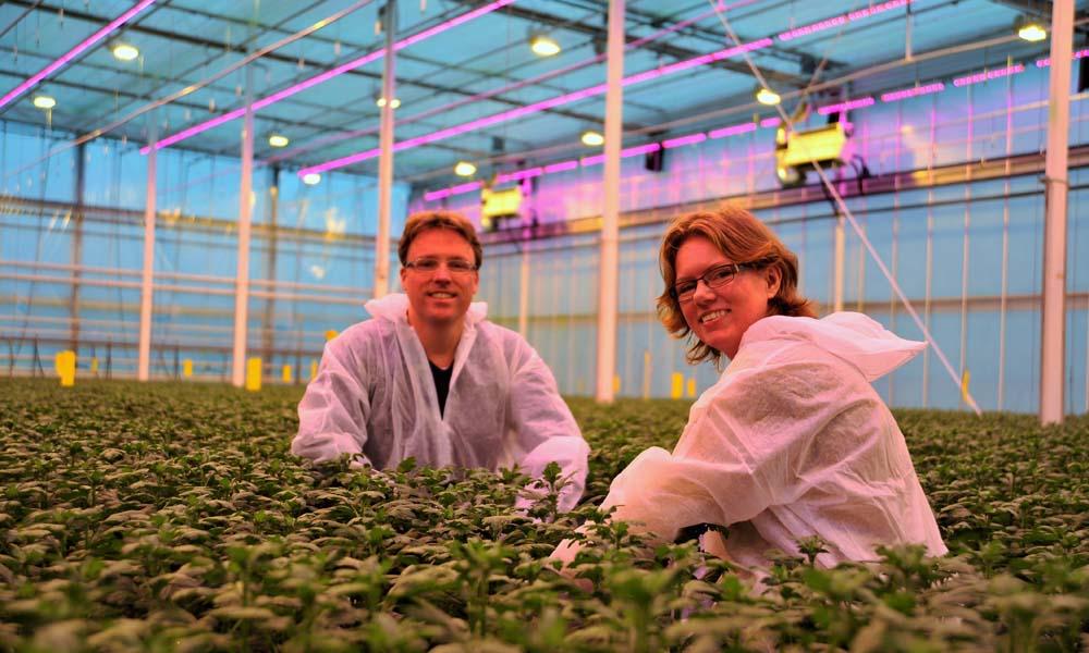 Onderzoekers in Bleiswijk stellen een doorbraak te hebben gevonden in het bestrijden van trips in chrysant.