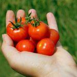 Tomaten hand
