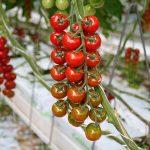 tomatenplanten in kas