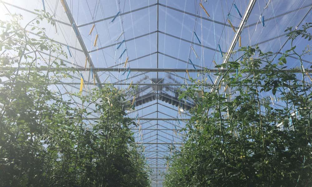 Schone ramen bevorderen de lichtinval in de kas. Dat is belangrijk voor voldoende groei. De frequentie van reiniging verschilt per gewasgroep en ondernemer.