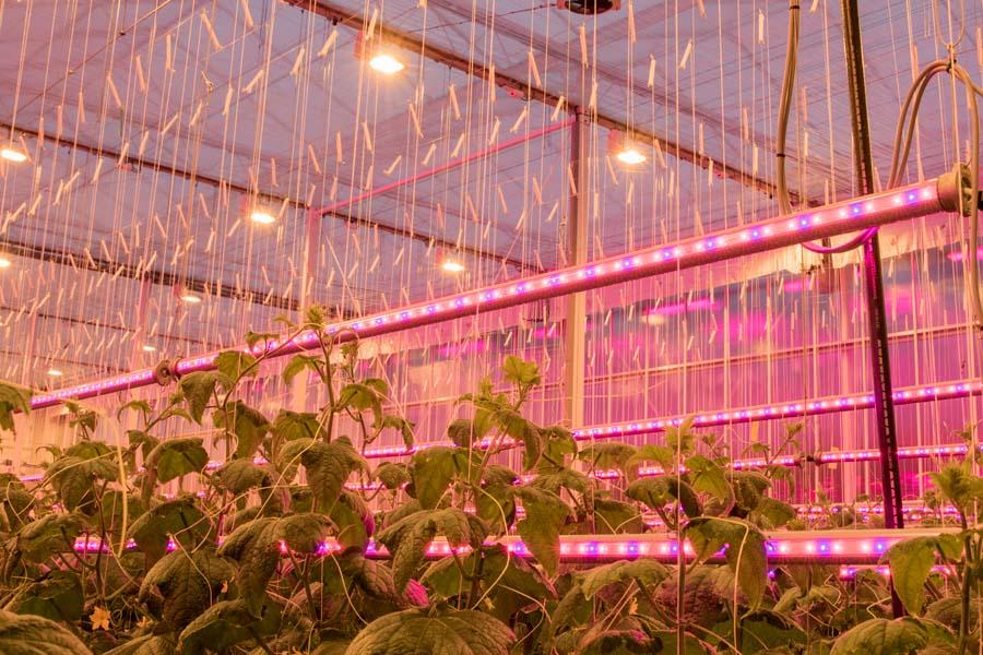 Hoeveelheid gewas van grote invloed op lichtverlies bij LED-tussenbelichting komkommer