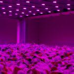 Op 20 september opent KeyGene een gloednieuw onderzoekscentrum voor onderzoek naar verticale teelt; het Crop Innovation Center. Foto van verticale teeltruimte bij Van der Staay