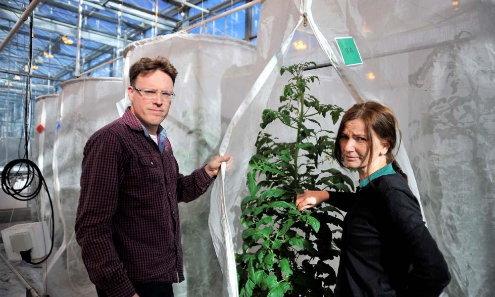 Nieuwe roofwants beperkt vestiging Nesidiocoris tenuis in tomaat